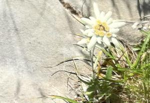 la plus haute fleur des alpes
